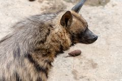 Head-Striped hyaena. The head is 100-120 centimeters long, the shoulder height is 60-80 cm, the tail length is 25-40 centimeters, and the weight is 25-55 royalty free stock image