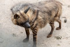 Look back-Striped hyaena. The head is 100-120 centimeters long, the shoulder height is 60-80 cm, the tail length is 25-40 centimeters, and the weight is 25-55 stock photo