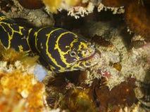 Head of chain moray eel Echidna catenata Stock Images