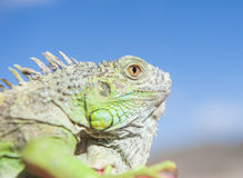 Head of a chameleon against blue sky. Closeup detail of a chameleon head against blue sky background Royalty Free Stock Photo