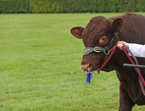 Lincoln Red Farm Bull. royalty free stock image