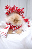 Head Cheerleader. Lexus the cat is dressed up and ready to cheer her team in a red and white cheer leading outfit on white background Stock Images