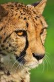 Head of cheetah. Beast, wild animal Stock Images