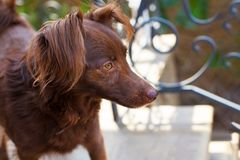 The head and chest of small melancholy red dog mongrel standing outside in front of black curved metal fence. royalty free stock image