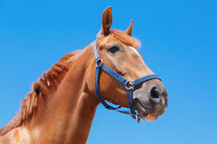 The Head of the chestnut horse on the blue sky background Stock Photography