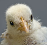 Head chick Stock Photo