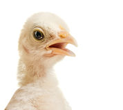 Head chick. Close up,  gaze look on camera, on white background, isolated Stock Images