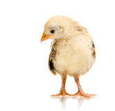 Head chick Stock Images