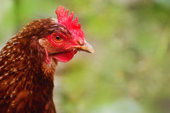 Head of chicken brown on a background Royalty Free Stock Image