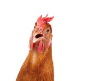 Head of chicken hen shock and funny surprising isolated white ba Royalty Free Stock Images