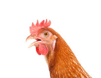 Head of chicken hen shock and funny surprising isolated white ba Stock Image