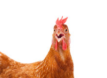 Head of chicken hen shock and funny surprising isolated white ba Royalty Free Stock Photos