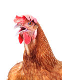 Head of chicken hen shock and funny surprising isolated white ba Stock Images