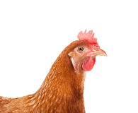 Head of chicken hen shock and funny surprising isolated white ba. Ckground Stock Image