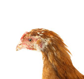 Head chicken Stock Photography