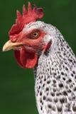Head chicken Stock Photography