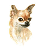 Head of the chihuahua. Chihuahua dog. Image of a thoroughbred dog. Watercolor painting Royalty Free Stock Photo