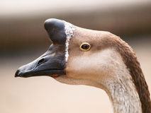 Head of chinese goose with typical basal knob - Anser cygnoides f. domestica. Anser cygnoides f. domestica - Chinese goose with typical basal knob Stock Photo