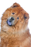 Head of a chow chow dog Royalty Free Stock Photos