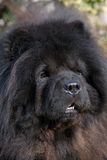 Head of Chow-Chow dog Stock Images