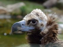 Head of Cinereous Vulture Stock Photo