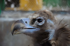 The head of Cinereous vulture Royalty Free Stock Image