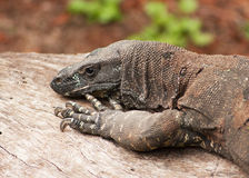 Head and claws of an Goanna Royalty Free Stock Photography