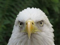 American Bald Eagle. Head close up of the American bald eagle royalty free stock photography