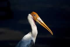 Head close up Painted Stork black black ground Stock Photos