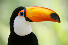 Head close-up of a Toco Toucan Royalty Free Stock Image