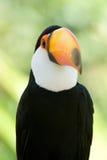 Head close-up of a Toco Toucan Royalty Free Stock Photos