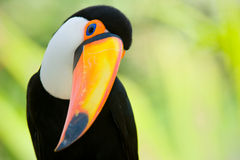 Head close-up of a Toco Toucan Stock Photos