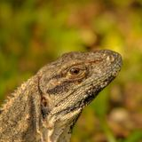 Head close-up of a Yucatan iguana in Mexico. Royalty Free Stock Photography