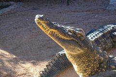 Head Closeup för krokodil på zoo, munnen och tänder royaltyfri bild