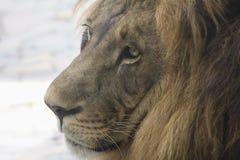 Head closeup för lejon i profil Arkivbild