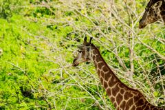 Head closeup of a giraffe walking in the forest. Stock Photography