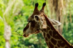 Head closeup of a giraffe walking in the forest. Royalty Free Stock Photo