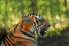 Head closeup shows deadly jaws of Royal Bengal Tiger. Against a nice green forest background royalty free stock photo