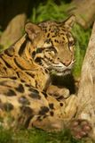 Head Clouded leopard Stock Image