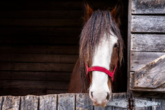 Head of a Clydesdale horse. Head shot of a Clydesdale horse inside is box with a red licol royalty free stock photography