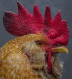 Head of the cock. Close-up. Stock Image