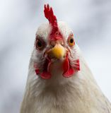 Head of the cock. Close-up. Royalty Free Stock Photography