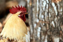 Head cock. Large red comb. Blurred dark background. Domestic bird Stock Photo