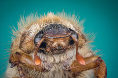 Head of Cockchafer Stock Photography