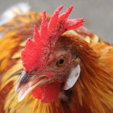 Head of a cockerel Stock Image
