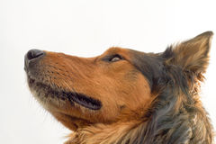 Head of collie dog profile Royalty Free Stock Images