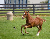 Head On Collision. A young thoroughbred colt scampers as a bird flies in front of him Royalty Free Stock Photo