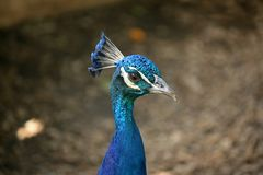 HEAD AND COMB OF PEACOCK Royalty Free Stock Images