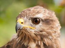 Head of common buzzard Stock Photos