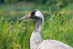 Head of common crane Royalty Free Stock Photography